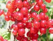 Számtalan ásványi anyagot és vitamint tartalmaz a ribizli