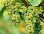 Immunrendszerünk erősítésére az egyik leghatékonyabb gyümölcs a szőlő