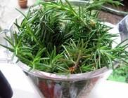 A rozmaring nemcsak kiváló fűszer, hanem értékes gyógynövény is