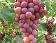 Őszi tisztítókúrák elengedhetetlen eleme a vörös szőlő