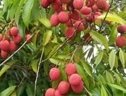Rendkívül egészséges gyümölcs a licsi