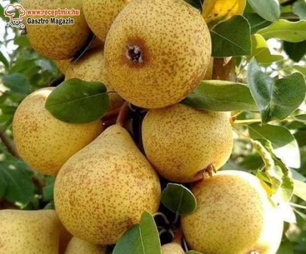 Körte, érett gyümölcs