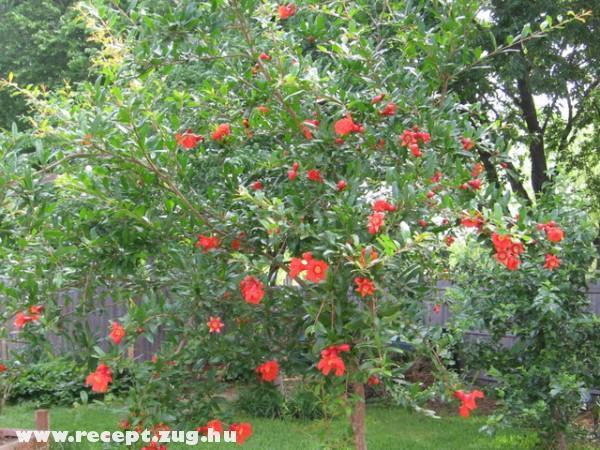 Virágzik a gránátalma fa