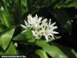 A medvehagyma virága