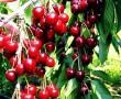 Cseresznye ágak - Cherry trees