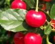 Meggyek a gyümölcsfán, szüret elõtt :)