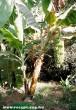 Banán fa