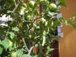 Termõ citromfa sok citrommal