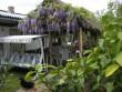 Mi udvarúnk és lila akácfa virágzása